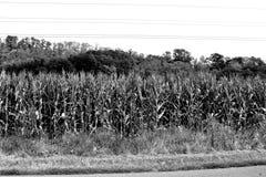 Campo de maíz en tiempo de cosecha Paisaje rural típico en los llanos de Transilvania, Rumania Foto de archivo