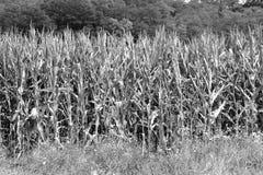 Campo de maíz en tiempo de cosecha Paisaje rural típico en los llanos de Transilvania, Rumania Foto de archivo libre de regalías