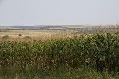 Campo de maíz en un día nublado moldova foto de archivo