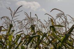 Campo de maíz en un día nublado moldova imágenes de archivo libres de regalías