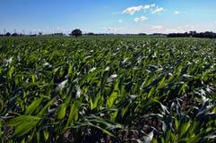 Campo de maíz en un día soleado imagen de archivo libre de regalías