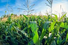 Campo de maíz en un día soleado, hojas del maíz, opinión de lente de fisheye de la perspectiva de la distorsión imágenes de archivo libres de regalías