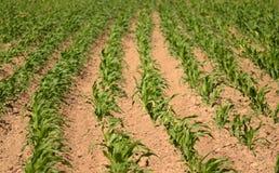 Campo de maíz en un día ventoso Fotografía de archivo