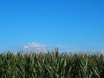 Campo de maíz en un fondo del cielo azul imágenes de archivo libres de regalías