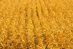 Campo de maíz en un fondo del otoño Foto de archivo libre de regalías