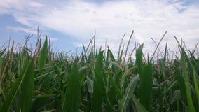 Campo de maíz en verano metrajes