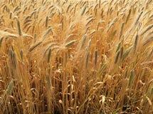 Campo de maíz en verano en un día soleado Fotos de archivo libres de regalías