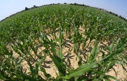 Campo de maíz enorme fotografiado con la lente de fisheye Imagen de archivo