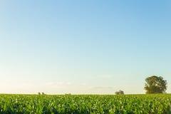Campo de maíz hermoso con el cielo azul claro fotografía de archivo libre de regalías
