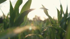 Campo de maíz hermoso en la puesta del sol almacen de video