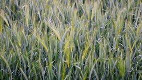 Campo de maíz hermoso en pleno verano Fotografía de archivo libre de regalías