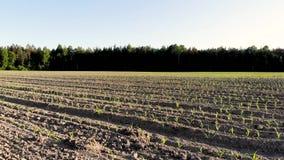 Campo de maíz joven metrajes