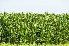 Campo de maíz joven Fotos de archivo