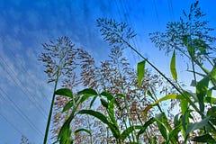 Campo de maíz joven Fotografía de archivo libre de regalías