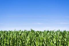 Campo de maíz joven en el verano imagenes de archivo