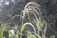 Campo de maíz, laberintos del maíz Foto de archivo