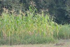 Campo de maíz, laberintos del maíz, seda del maíz Foto de archivo
