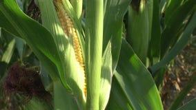 Campo de maíz, maíz en la mazorca almacen de metraje de vídeo