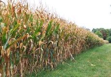 Campo de maíz maduro Imágenes de archivo libres de regalías