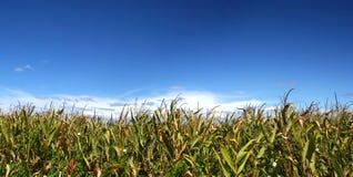 Campo de maíz maduro bajo el cielo Imagenes de archivo