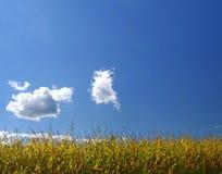Campo de maíz maduro bajo el cielo Imagen de archivo libre de regalías