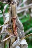Campo de maíz maduro después de la cosecha foto de archivo libre de regalías