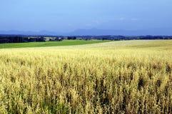 Campo de maíz maduro en campo Fotos de archivo libres de regalías
