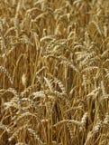 Campo de maíz maduro seco Fotografía de archivo