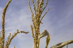 Campo de maíz Maze Fall Autumn Halloween Thanksgiving Imagen de archivo