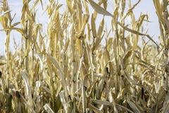 Campo de maíz Maze Fall Autumn Halloween Thanksgiving Fotos de archivo
