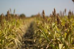 Campo de maíz muerto Imágenes de archivo libres de regalías