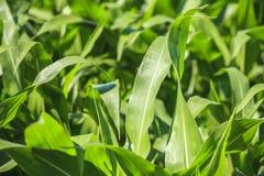 Campo de maíz muy verde Fotografía de archivo libre de regalías