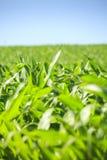 Campo de maíz muy verde Fotos de archivo libres de regalías