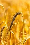 Campo de maíz de oro en la puesta del sol Foto de archivo