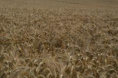 Campo de maíz de oro sin fin en otoño Fotografía de archivo libre de regalías