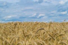 Campo de maíz de oro sin fin en otoño Fotos de archivo libres de regalías