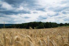 Campo de maíz de oro sin fin en otoño Imágenes de archivo libres de regalías