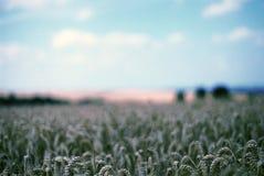 Campo de maíz, Oxfordshire fotografía de archivo