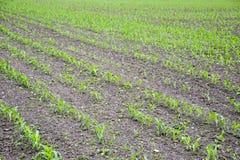 Campo de maíz Pequeños brotes del maíz, paisaje del campo Suelo y tallos flojos del maíz en el campo Imagen de archivo libre de regalías