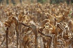 Campo de maíz secado Imagen de archivo