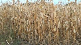 Campo de maíz seco metrajes