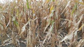 Campo de maíz seco almacen de metraje de vídeo