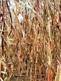Campo de maíz seco Fotografía de archivo libre de regalías