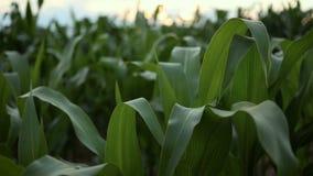 Campo de maíz Tallos del maíz que se sacuden en el viento almacen de video