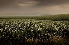 Campo de maíz tempestuoso Imagen de archivo libre de regalías