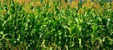 Campo de maíz Tiempo de cosecha Paisaje rural agradable en los llanos de Transilvania, Rumania Fotografía de archivo