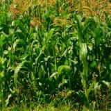 Campo de maíz Tiempo de cosecha Paisaje rural agradable en los llanos de Transilvania, Rumania Imagen de archivo libre de regalías