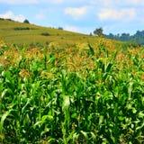 Campo de maíz Tiempo de cosecha Paisaje rural agradable en los llanos de Transilvania, Rumania Imágenes de archivo libres de regalías