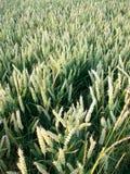 Campo de maíz tranquilo, Northumberland, nr Crookham, Inglaterra Reino Unido Imagen de archivo libre de regalías