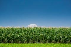 Campo de maíz verde Imagen de archivo